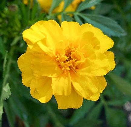 "Marigold 4""pot Durango Yellow"