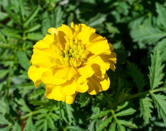 Marigold 6-pak Bonanza Yellow