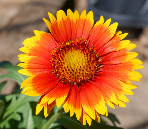 Gaillardia 1gal Arizona Sun Blanket Flower