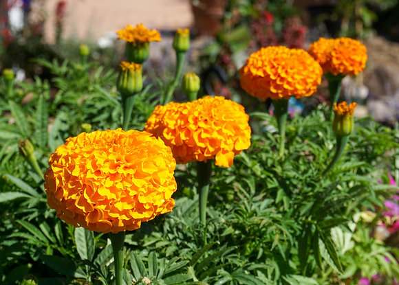 "Marigold African Dwarf 4""pot Orange"