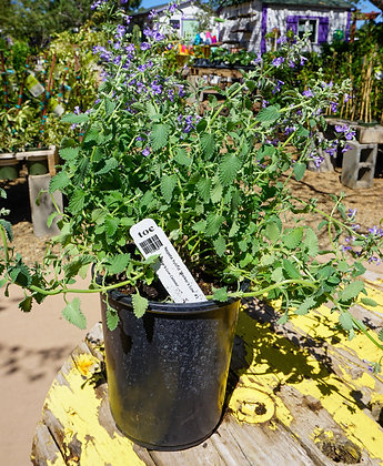 Nepeta 1gal Walker's Low Catmint