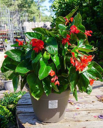 "Begonia 12""pot Dragon Wing Red"