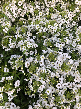 "Lobularia 4""pot Snow Princess"
