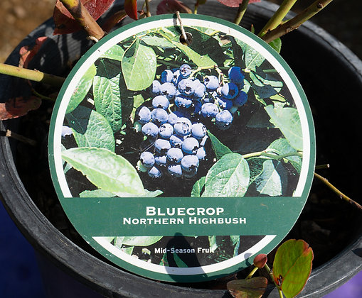Blueberry 1gal Blue Crop