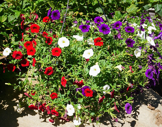"Hang Basket 12"" Calibrachoa Blue, Red & White"