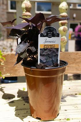 "Ipomoea 4""pot Spotlight Black Heart"