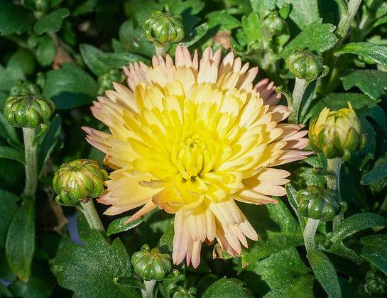 """Chrysanthemum 4""""pot Flamingo Pineapple Pink"""