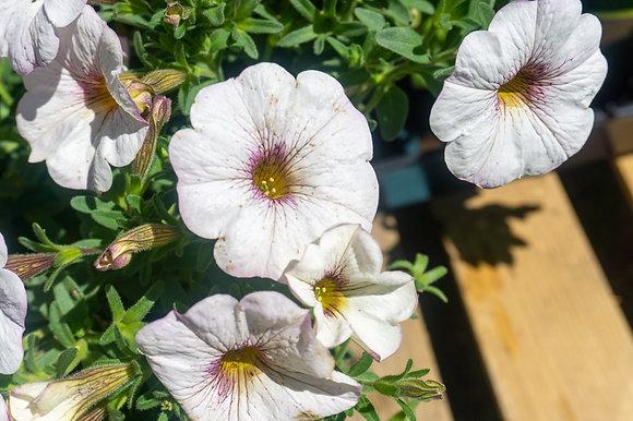 Petunia 1gal SuperCal Snowberry White