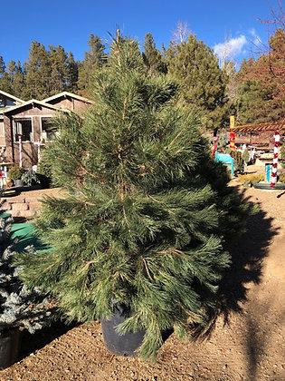 Pine Austrian 25 Gallon