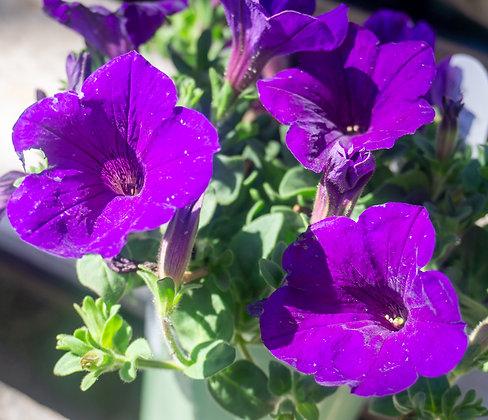 "Petunia 4""pot Supertunia Royal Velvet"