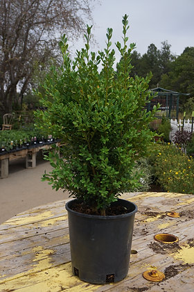 Boxwood 5gal Green Mountain