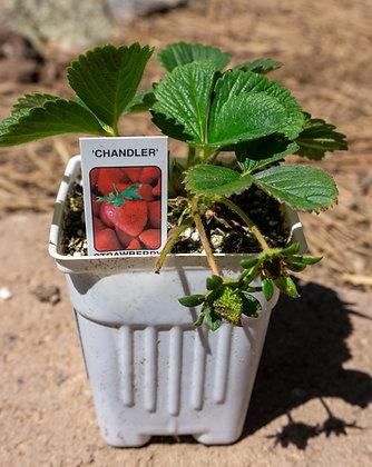 "Strawberry 3""pot Chandler"