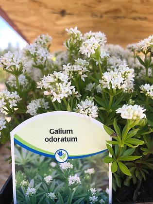 "Galium Odoratum Sweet Woodruff 4""pot"