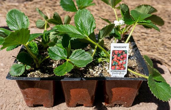 Strawberry 6-pak Seascape