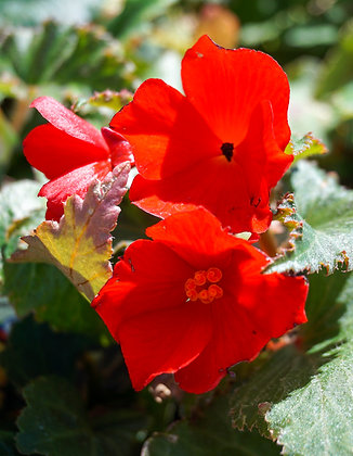 "Begonia 4""pot Nonstop Red"