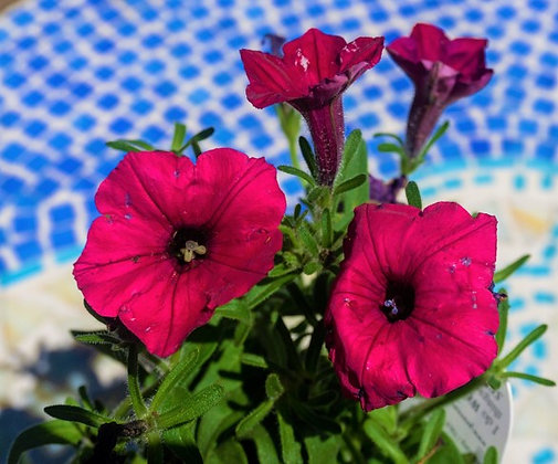 "Petunia 4""pot Supertunia Vista Fuchsia"