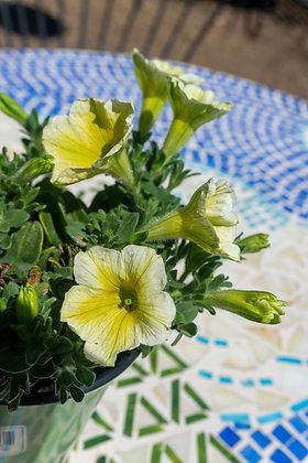 "Petunia 4""pot Ray Sunshine"