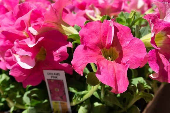 Petunia 6-pak Dreams Pink