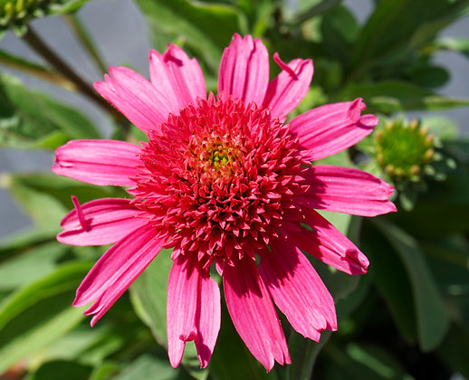 Echinacea 1gal Delicious Candy