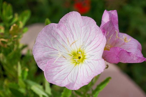 Oenothera Siskiyou 1gal