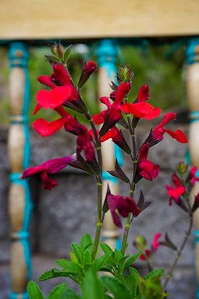 Salvia greggii 1gal Radio Red