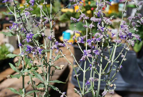 Russian Sage 1gal Little Spire