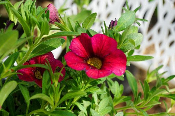 "Calibrachoa 4""pot Calitastic Red Lips"