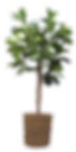 112366-fiddle-leaf-fig-tree-in-basket-by