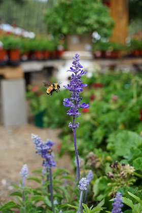 Salvia 1gal Victoria Blue