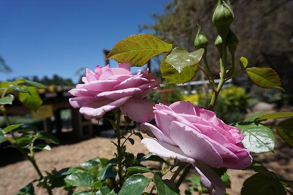 Rose 5gal Enchanted Evening