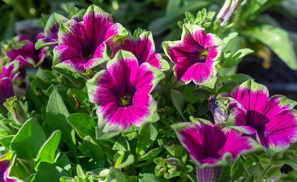 "Petunia 4""pot Supertunia Picasso Purple"