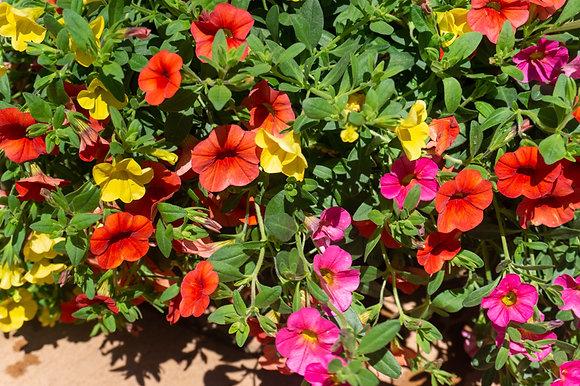 "Hang Basket 12"" Calibrachoa Orange, Pink, Yellow"