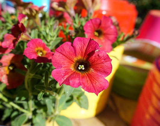"Petunia 4""pot SuperCal Cinnamon"
