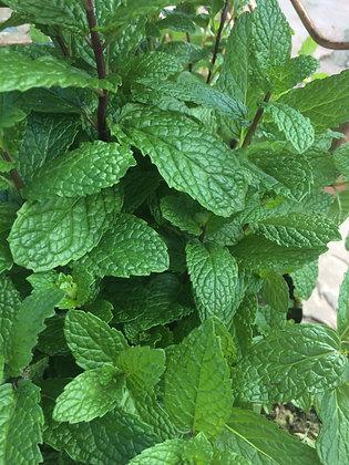 """Mint Spearmint 4""""pot"""