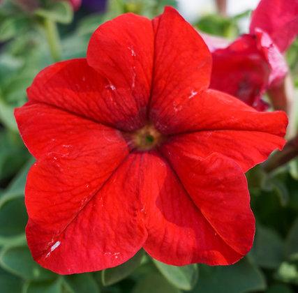 "Petunia 4""pot Limbo Red"