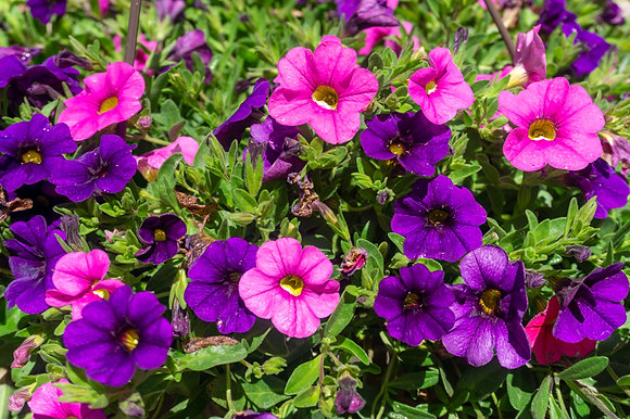 "Hang Basket 12"" Calibrachoa Blue, Pink"