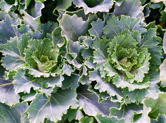 "Cabbage 4""pot Osaka White"