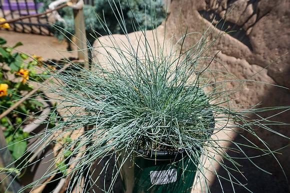 Festuca Grass 2gal Elijah Blue