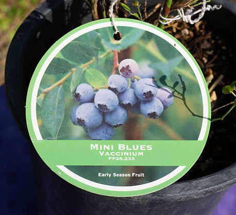Blueberry 1gal Mini Blue