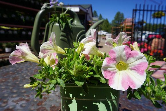 """Petunia Surfinia 4""""pot Heartbeat"""