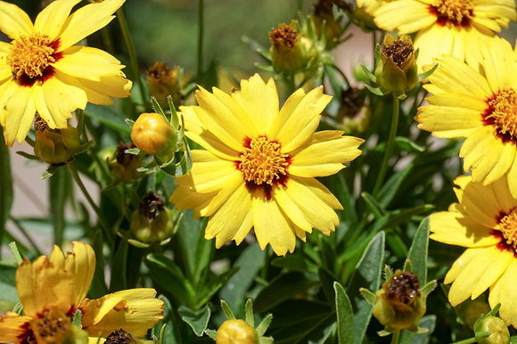 Coreopsis 1gal Uptick Yellow & Red