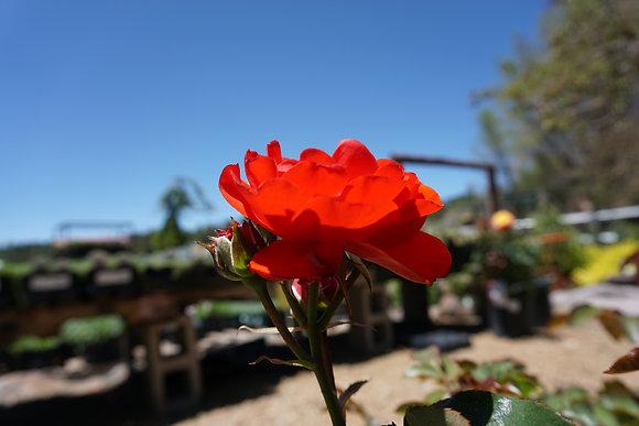 Rose 5gal Trumpeter