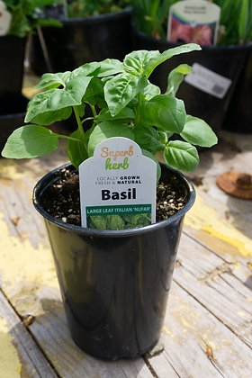 """Basil 4""""pot Large Leaf Nufar"""
