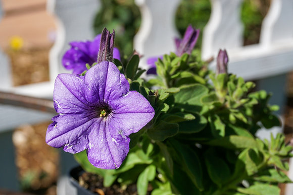 "Petunia Surfinia 4""pot Heavenly Blue"
