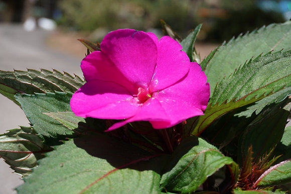 "Impatiens Walleriana 4""pot Pink"