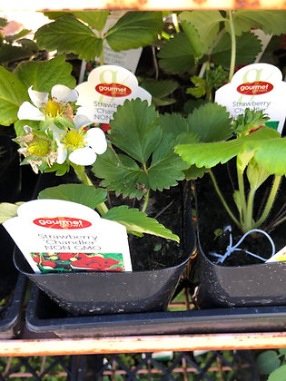 "Strawberry 4""pot Chandler"