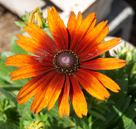 Echibeckia 1gal Summerina Orange