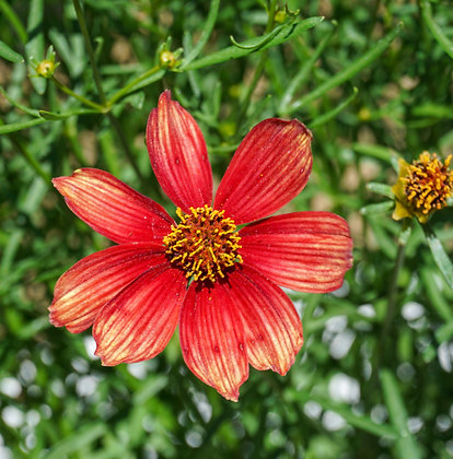 Coreopsis 1gal Rossana