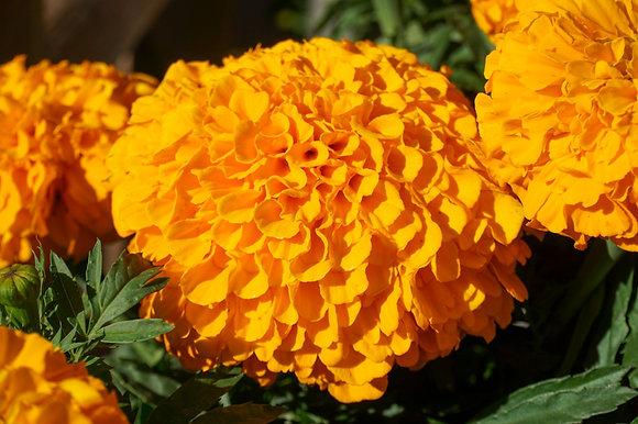 """Marigold 12""""pot Africa Inca Orange"""