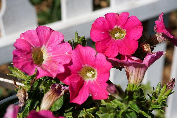 "Petunia 4""pot Ray Candy Pink"